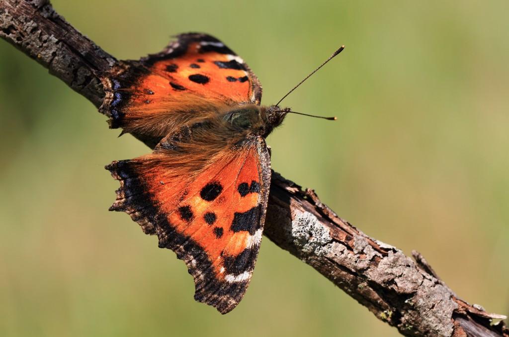 KajsNatur - Sommerfugle, Butterflies