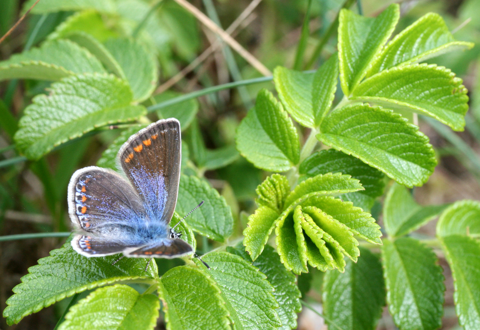 Almindelig blåfugl, Polyommatus icarus