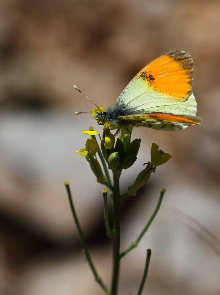 Lille gul Aurora, Anthocharis gruneri - Grækenland - 28.4.2016