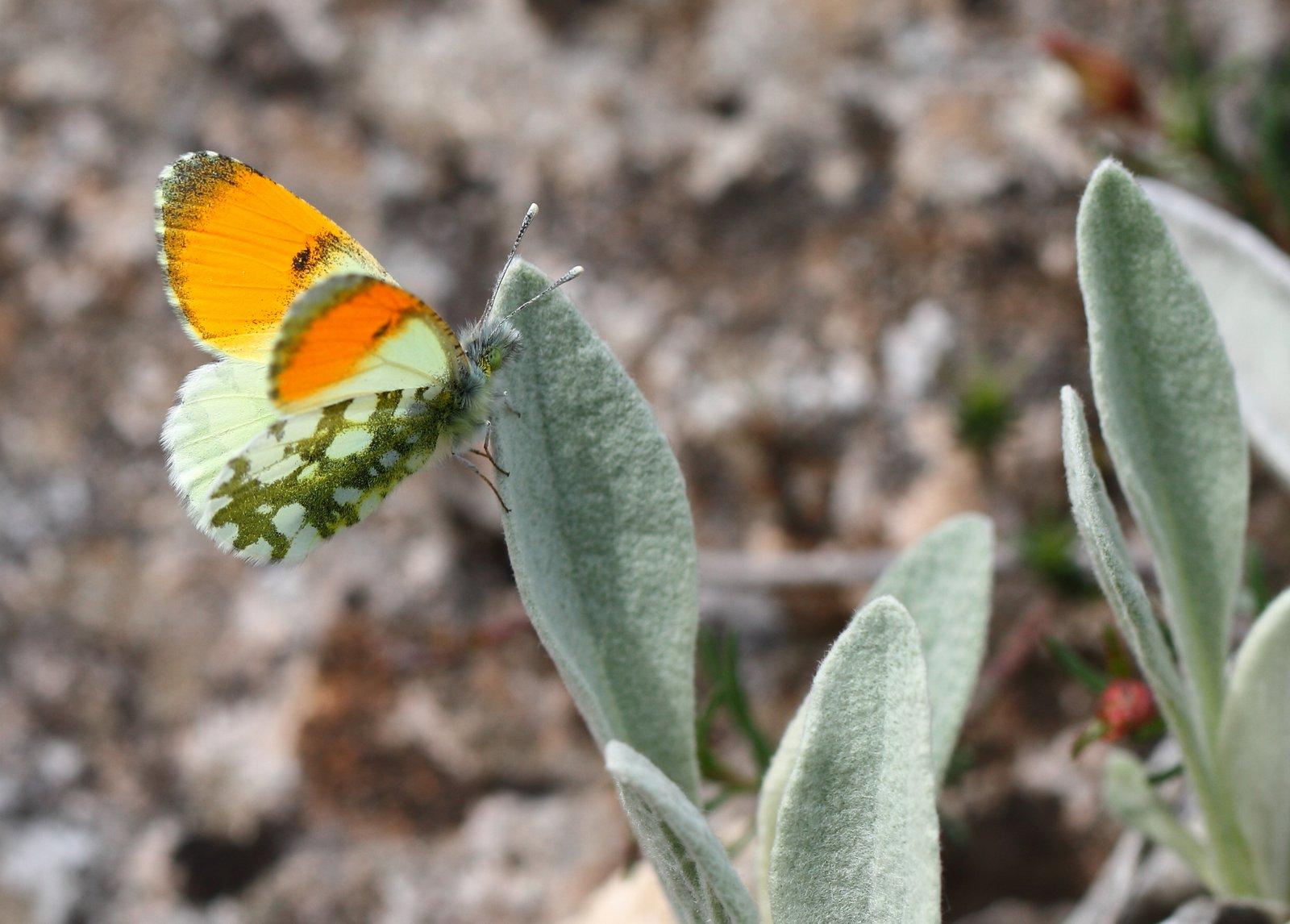 Lille gul Aurora, Anthocharis gruneri