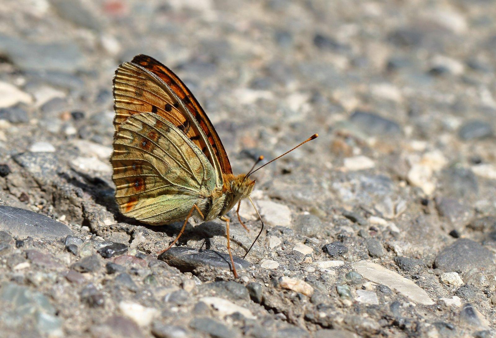 Skovperlemorsommerfugl, Argynnis adippe form cleodoxa