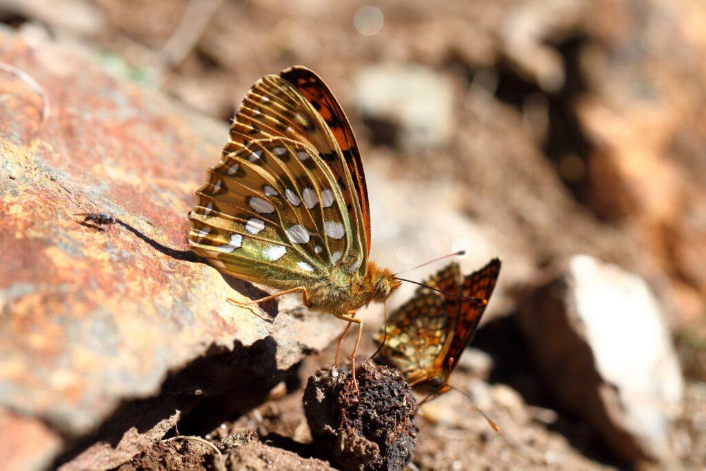 Markperlemorsommerfugl, Speyeria aglaja