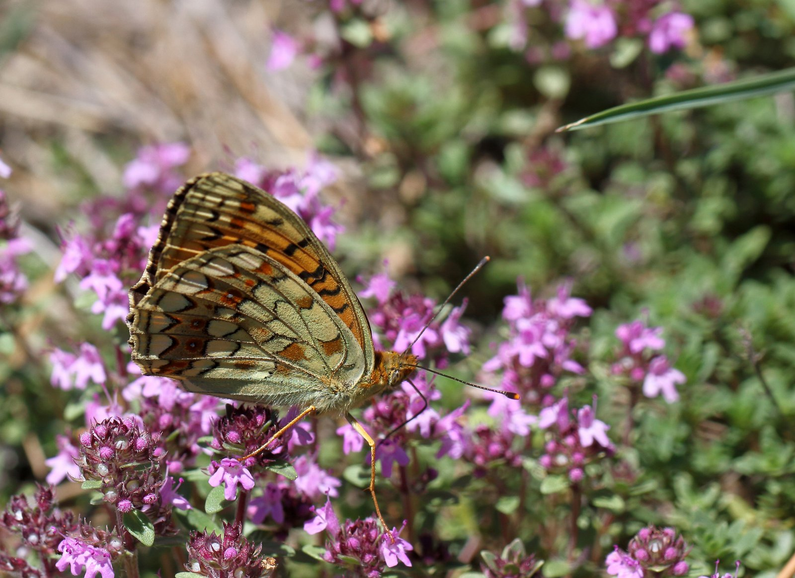 Klitperlemorsommerfugl, Fabriciana niobe