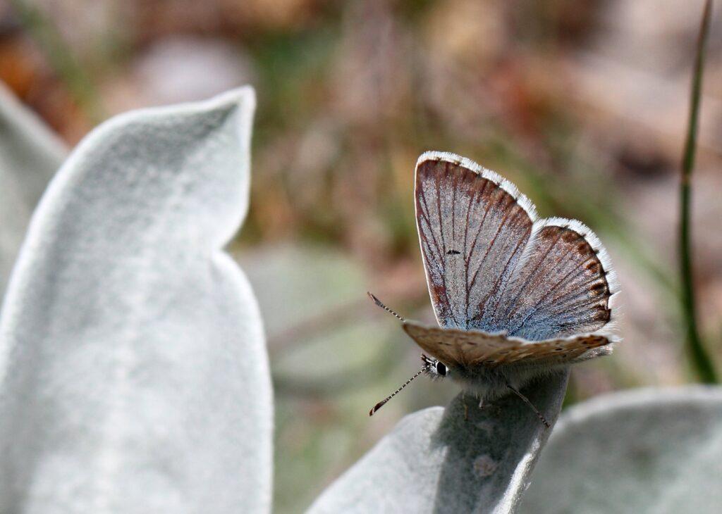Græsk blåfugl, Aricia anteros
