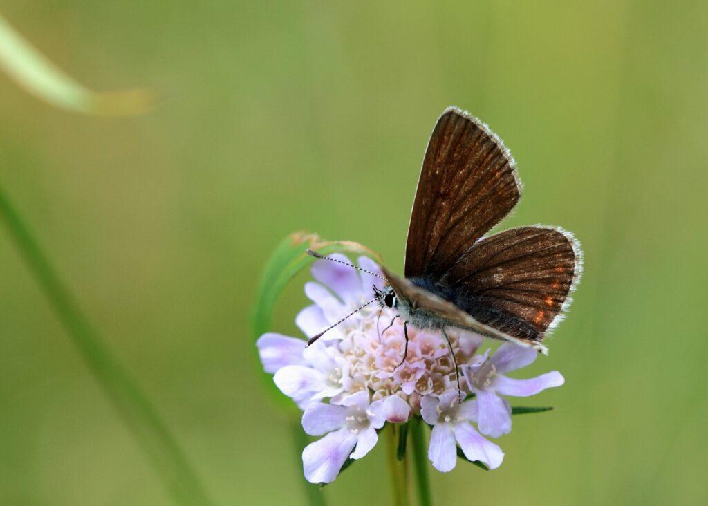 Sortbrun blåfugl, Aricia artaxerxes allous
