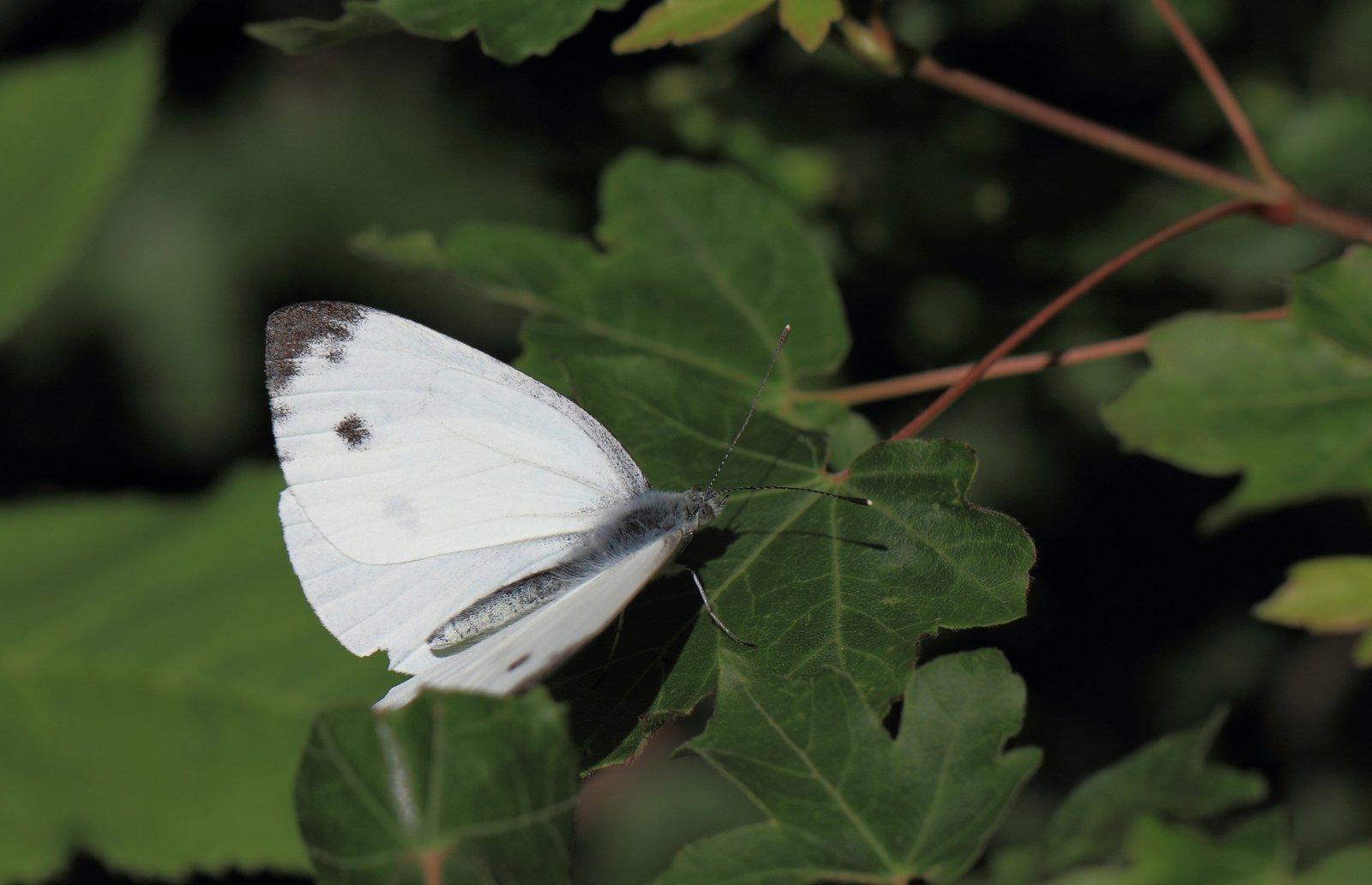 Sydlig kålsommerfugl, Pieris mannii
