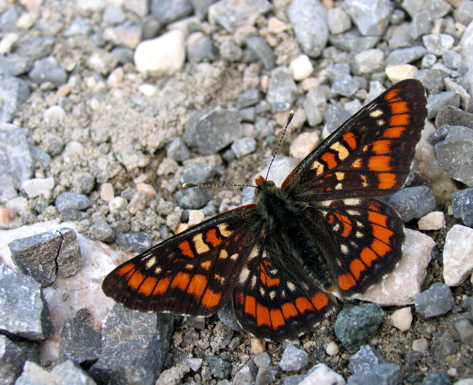 Askepletvinge, Euphydryas maturna