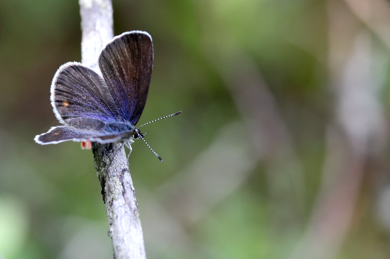 Bølleblåfugl. Agriades optilete