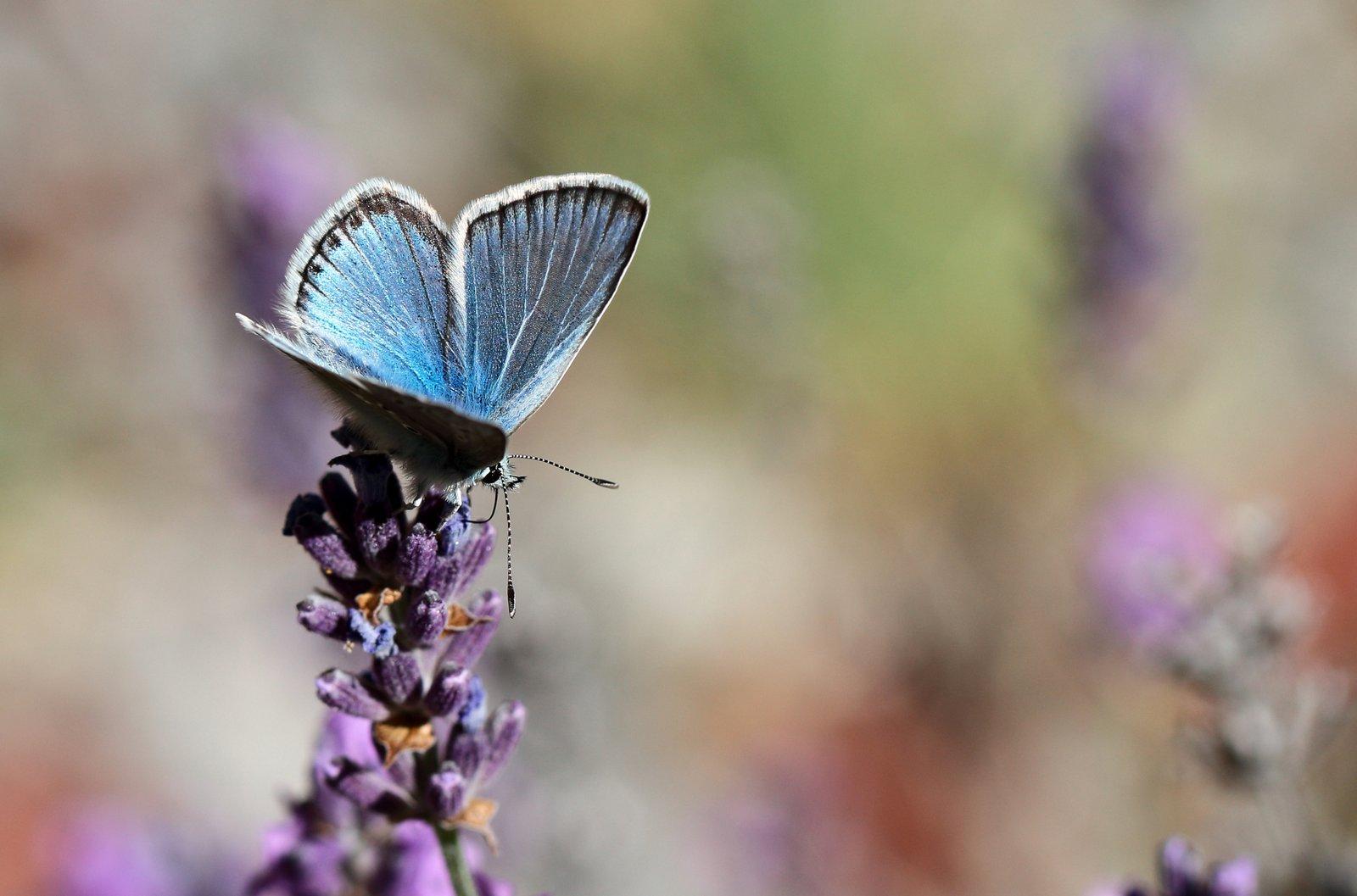 Bjergblåfugl, Polyommatus eros