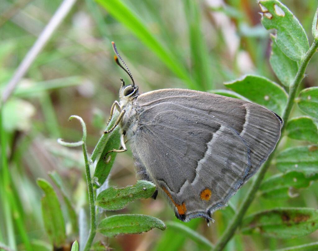 Blåhale, Favonius quercus