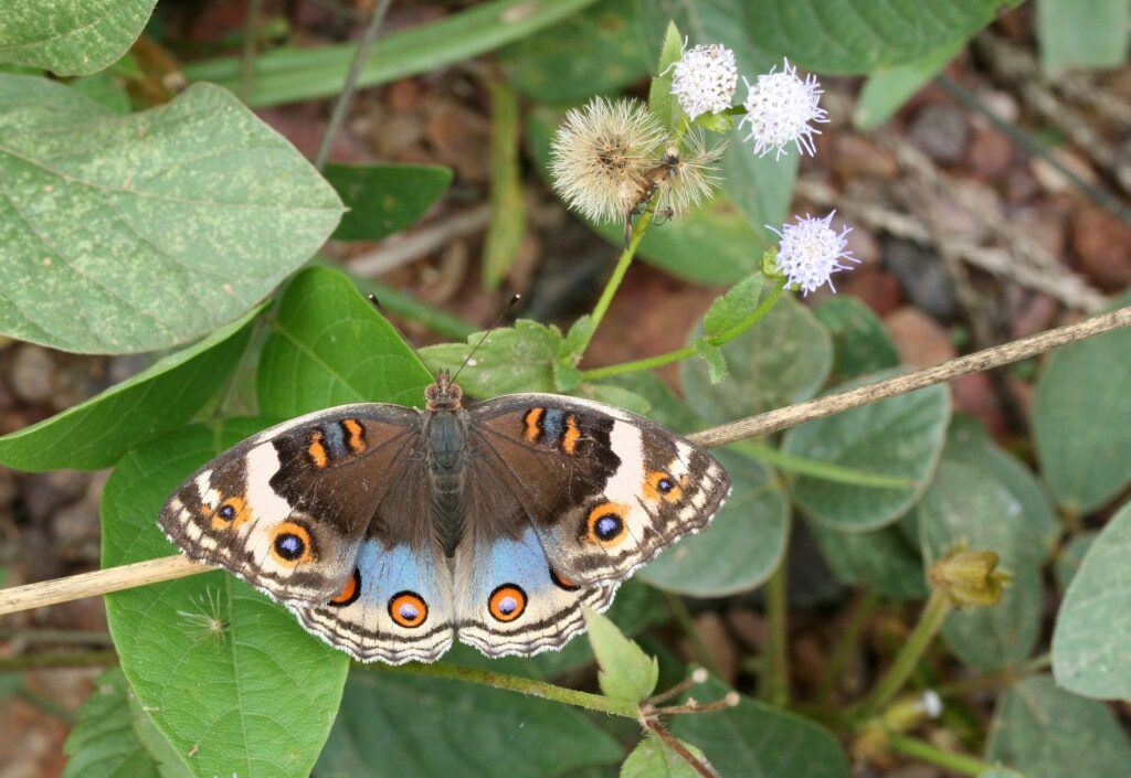 Blue Pansy,  Junonia orithya