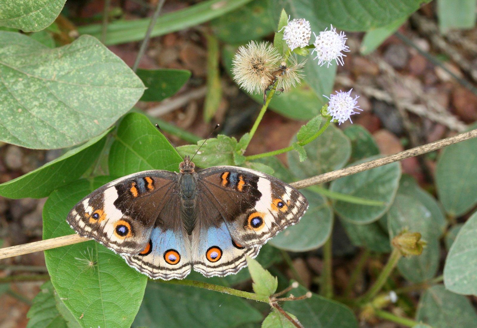 Blue Pansy,  Junonia orithya