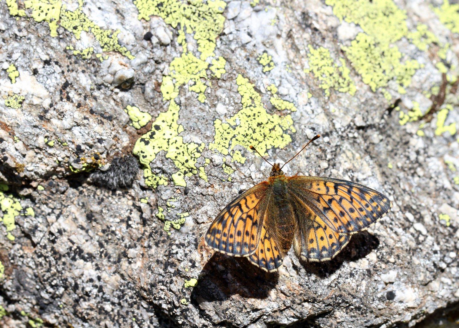 Alpeperlemorsommerfugl, Boloria pales