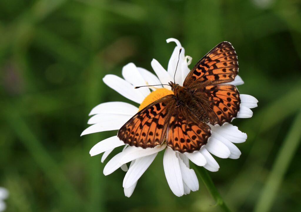 Harlekinperlemorsommerfugl, Boloria titania