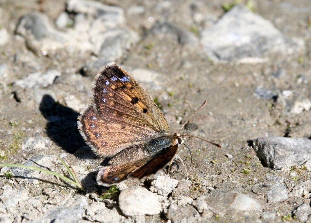 Boulder Butterfly, Lycaena boldenarum