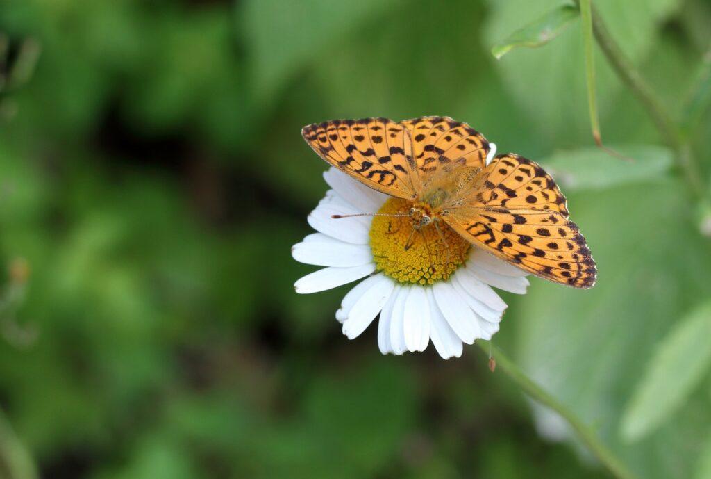 Marmoreret Perlemorsommerfugl, Brenthis daphne