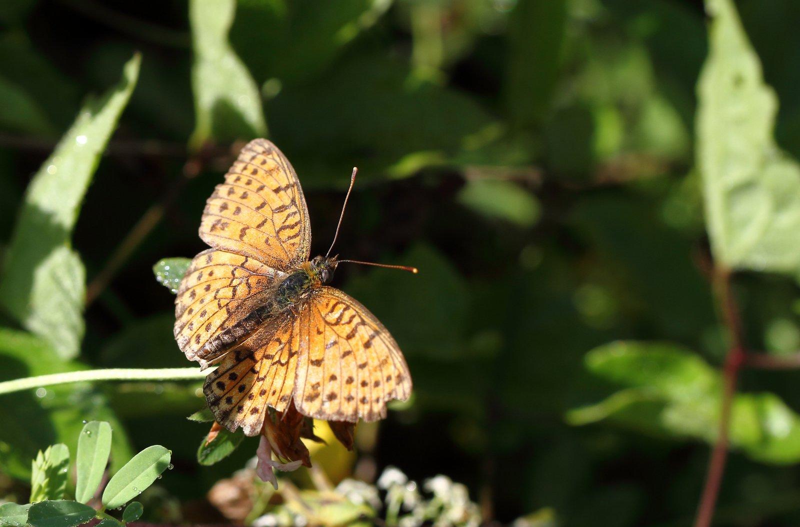 Dobbeltplettet Perlemorsommerfugl, Brenthis hecate