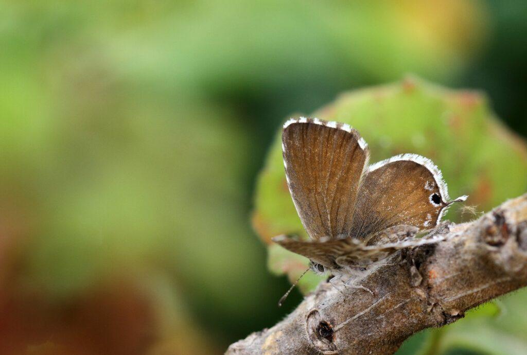 Bronzesommerfugl, Cacyreus marshalli