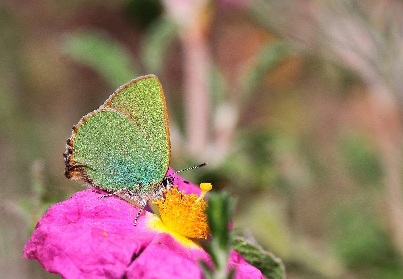 Grøn busksommerfugl, Callophrys rubi