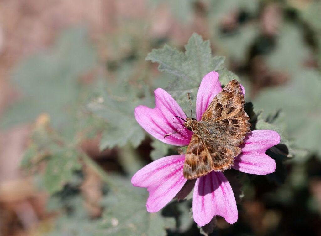 Marmorbredpande, Carcharodus alceae