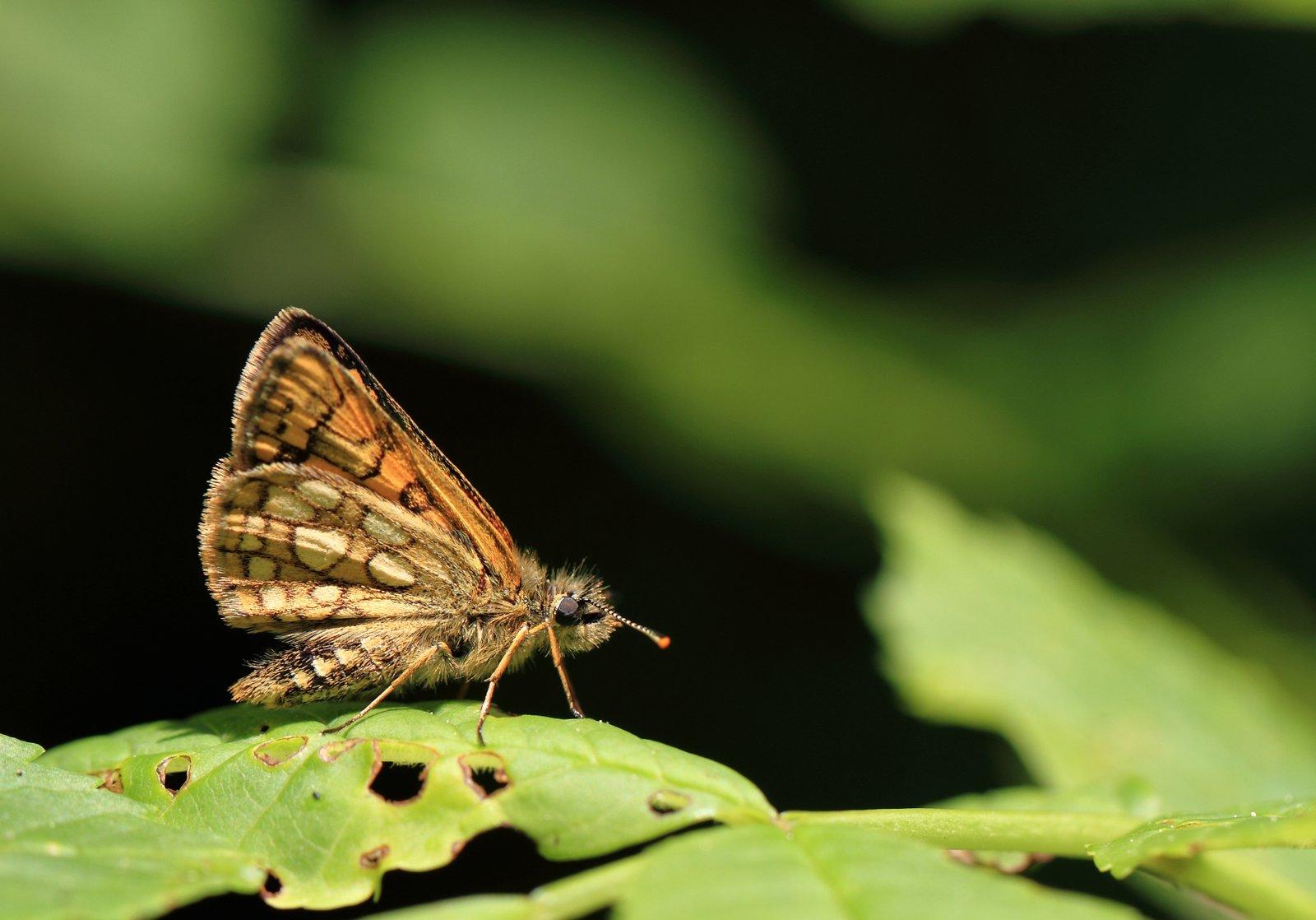 Gulplettet bredpande, Carterocephalus palaemon