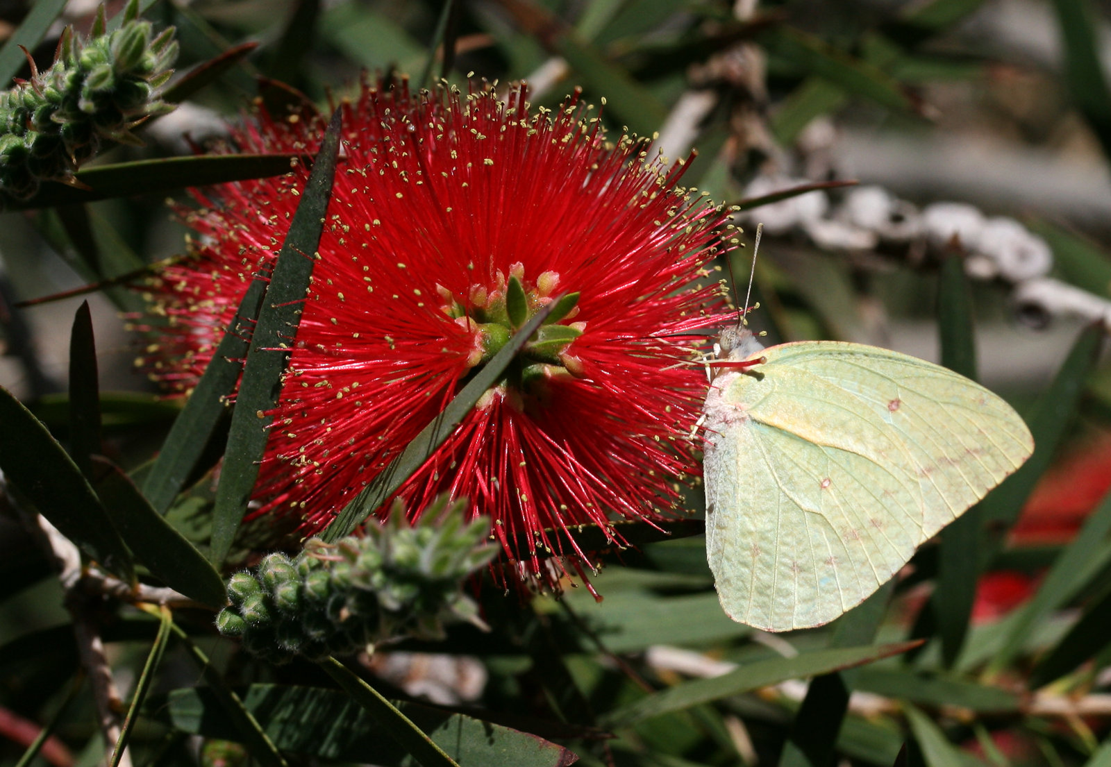 Grapesommerfugl, Catopsilia florella