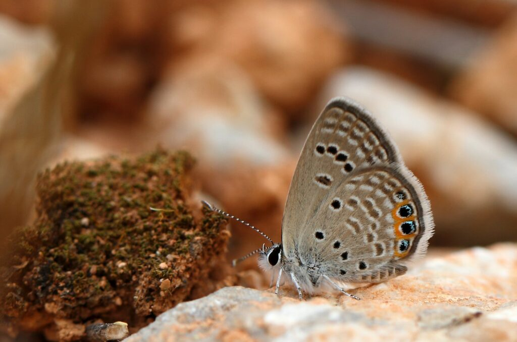 Græsjuvel, Chilades trochylus