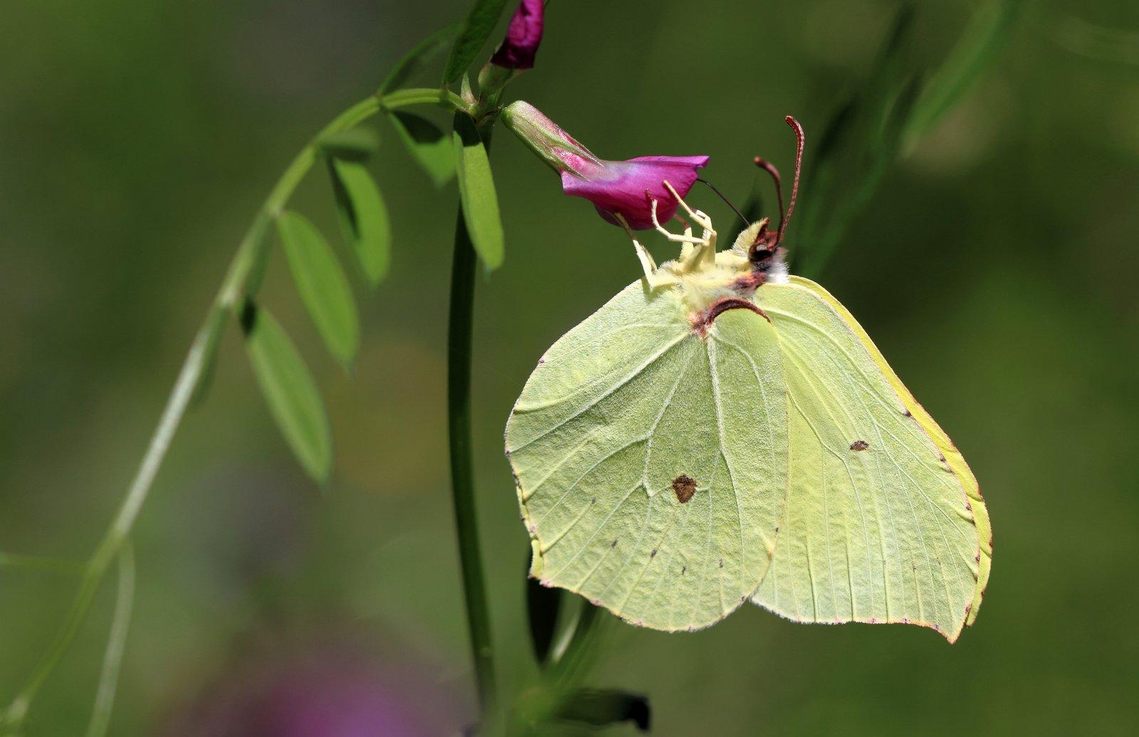 Citronsommerfugl, Gonepteryx rhamni