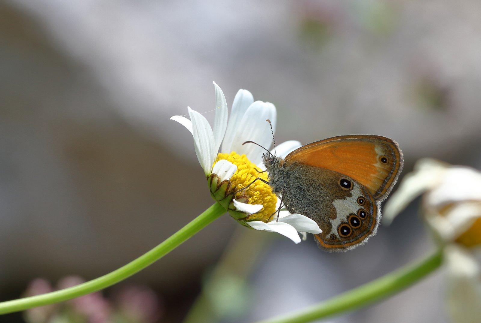 Perlemorrandøje, Coenonympha arcania