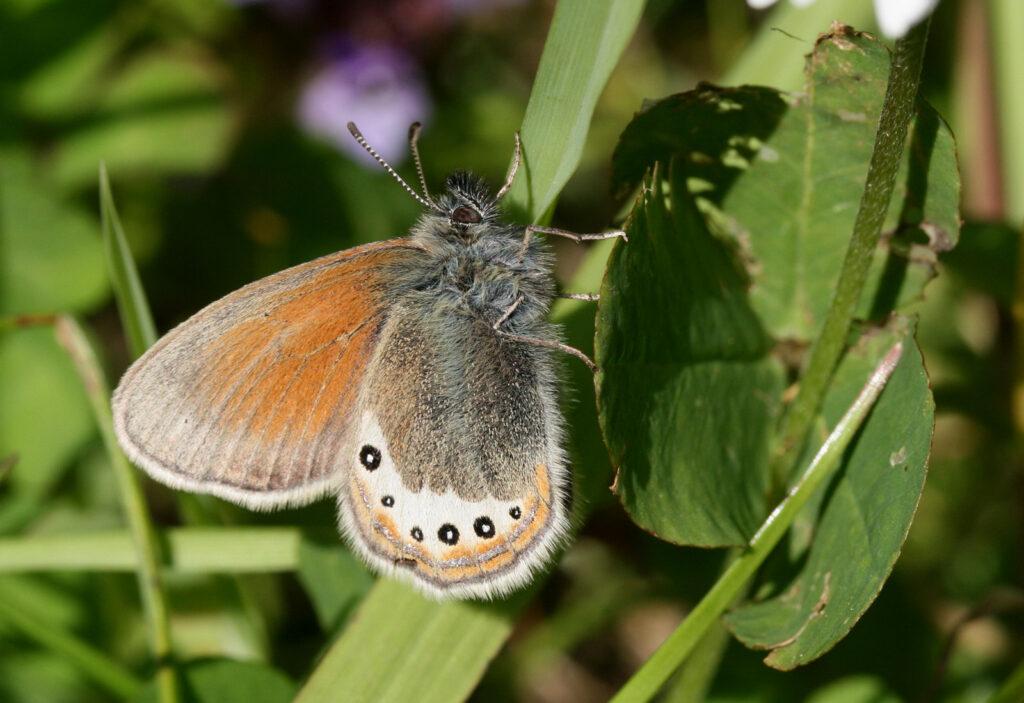 Alpin-Perlemorrandøje, Coenonympha gardetta