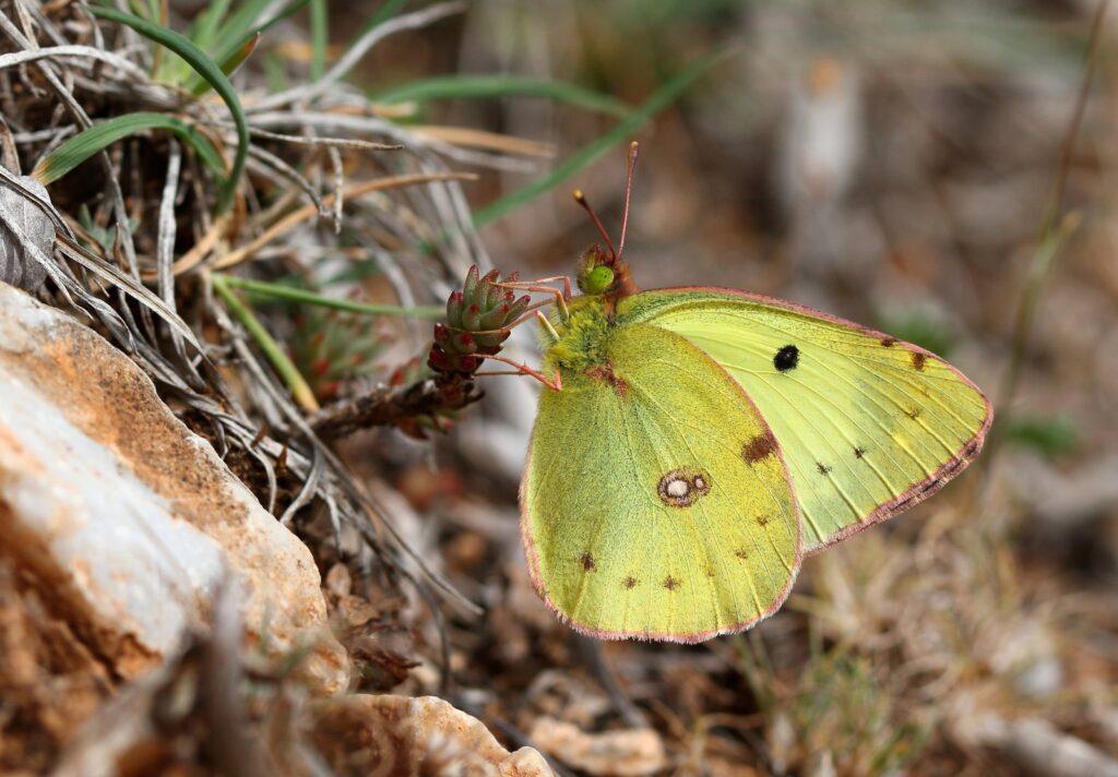 Sydlig høsommerfugl, Colias alfacariensis