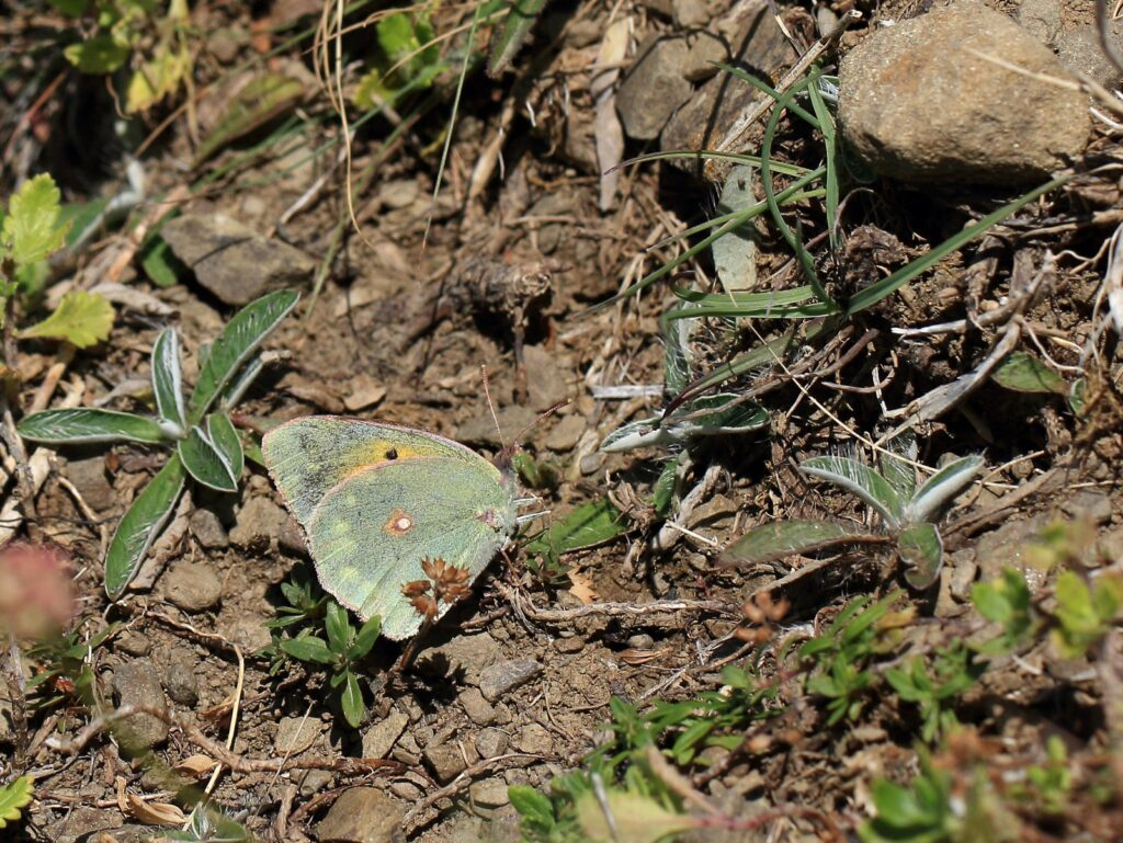 Violet Høsommerfugl, Colias aurorina