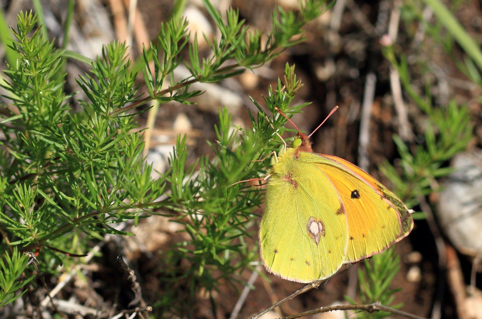 Balkan høsommerfugl, Colias caucasica rebeli