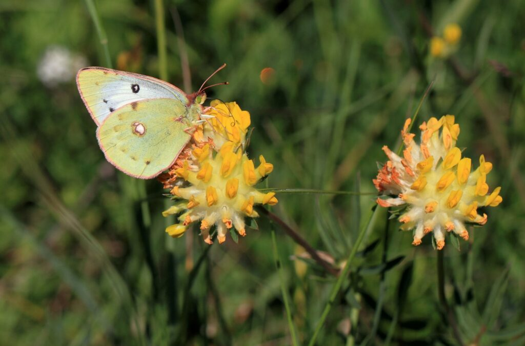 Balkan høsommerfugl, Colias caucasica