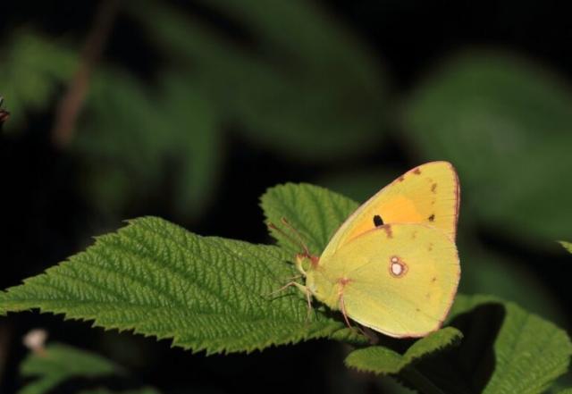 Orange høsommerfugl, Colias crocea