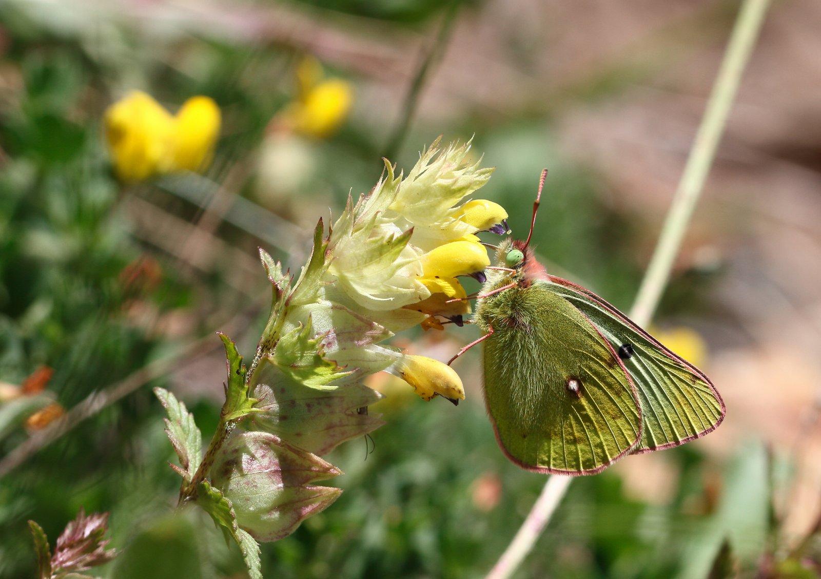Bjerghøsommerfugl, Colias phicomone