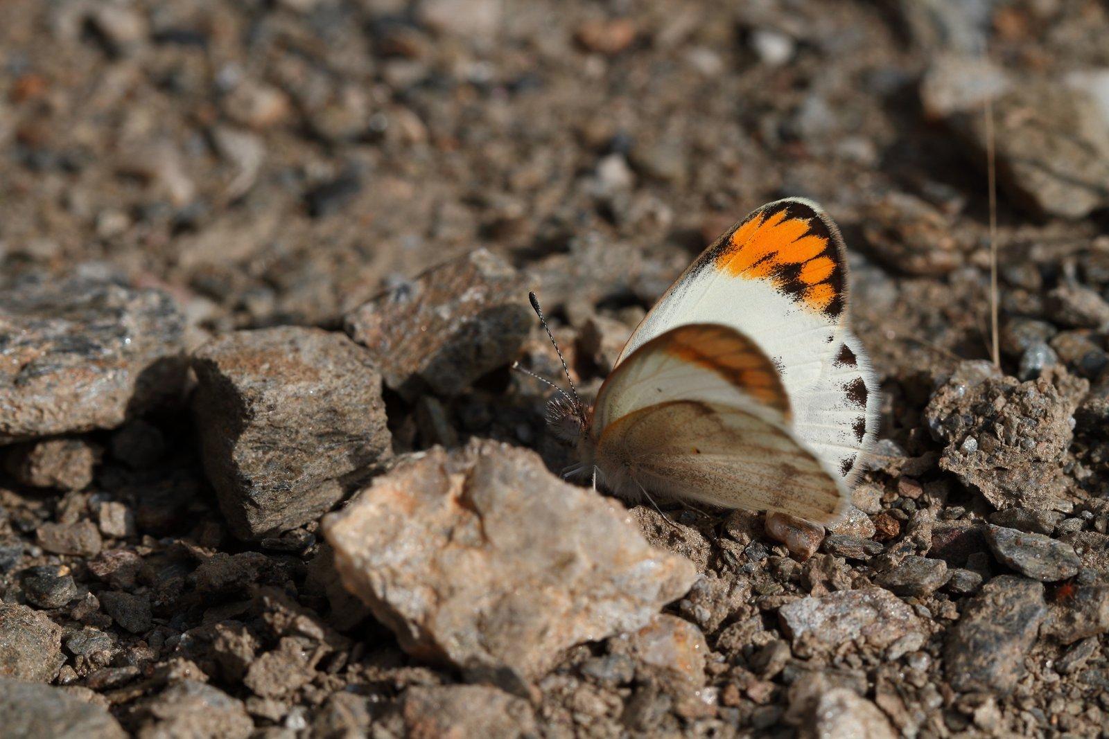 Ørkenaurora, Colotis evagore