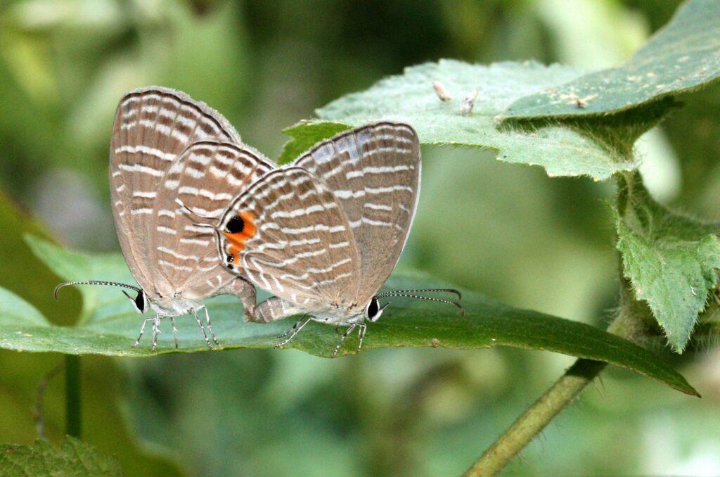 Common Cerulean, Jamides celeno
