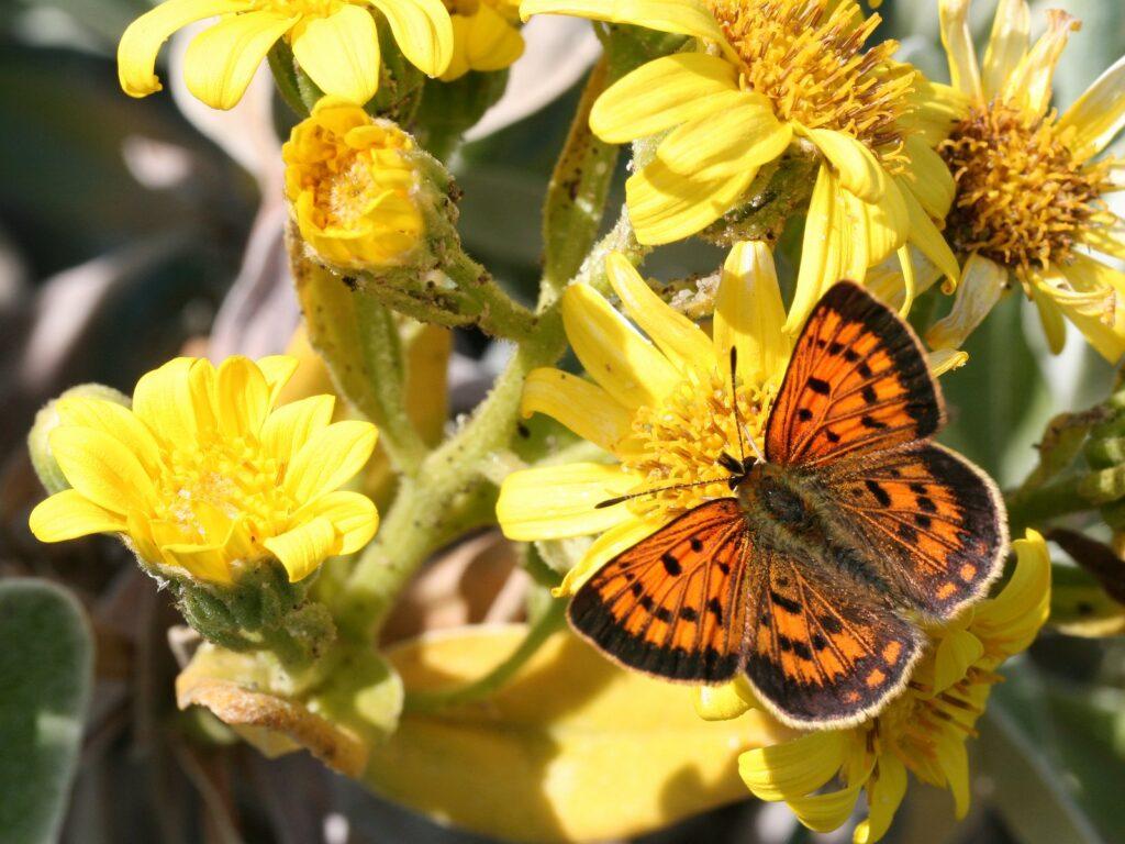 Common Copper, Lycaena salustius