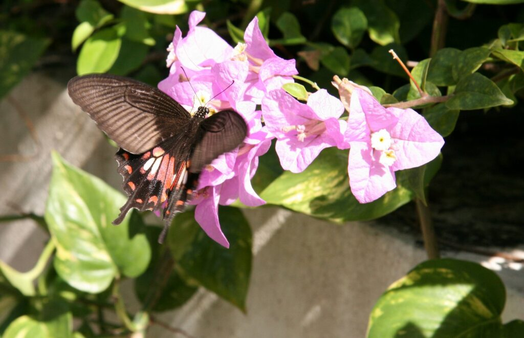 Common Mormon, Papilio polytes, Ao Nang