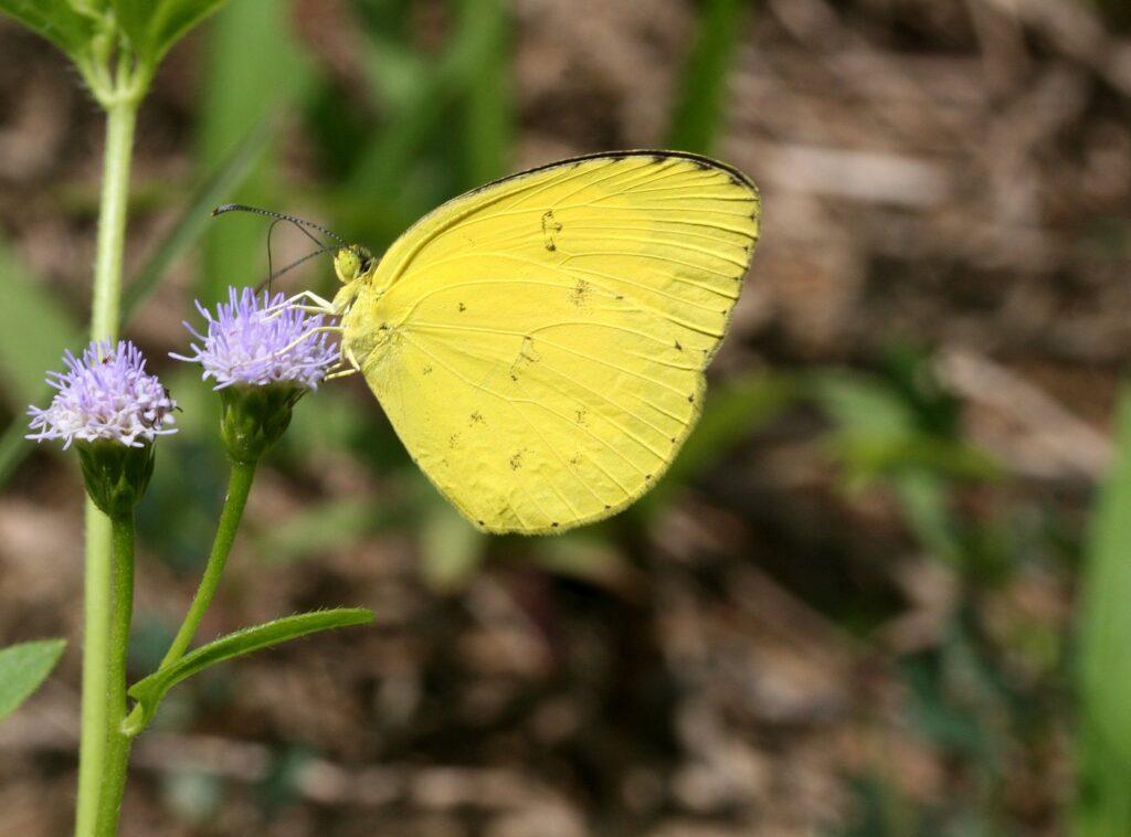 Common Yellow grass, Eurema hecabe