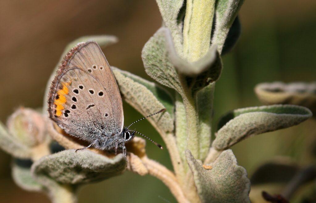 Græsk Engblåfugl, Cyaniris helena