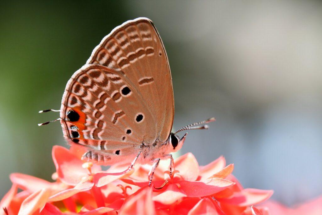 Cycad Blue, Chilades pandava