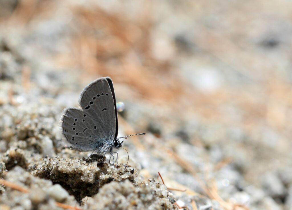 Dværgblåfugl, Cupido minimus