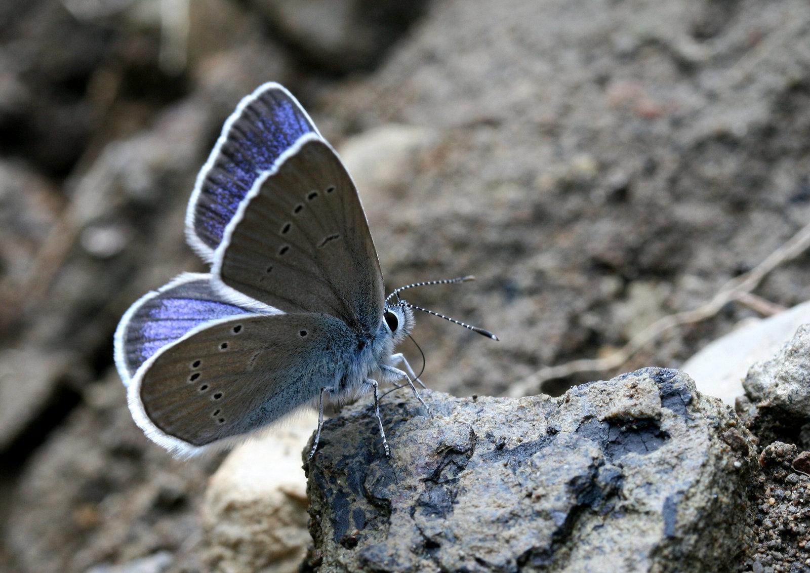 Engblåfugl, Cyaniris semiargus