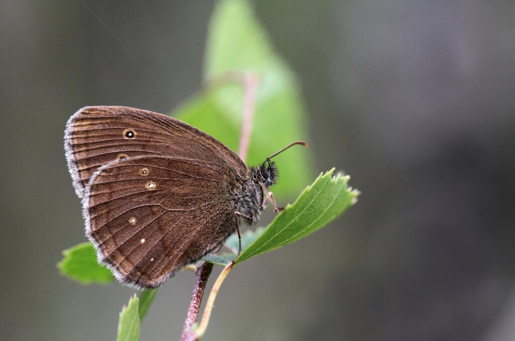 Engrandøje, Aphantopus hyperantus