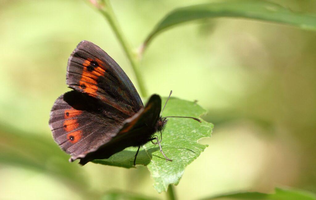 Lysbåndet Skovbjergrandøje, Erebia aethiops