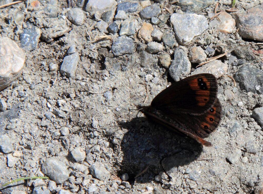 Brunbåndet skov-bjergrandøje, Erebia triarius