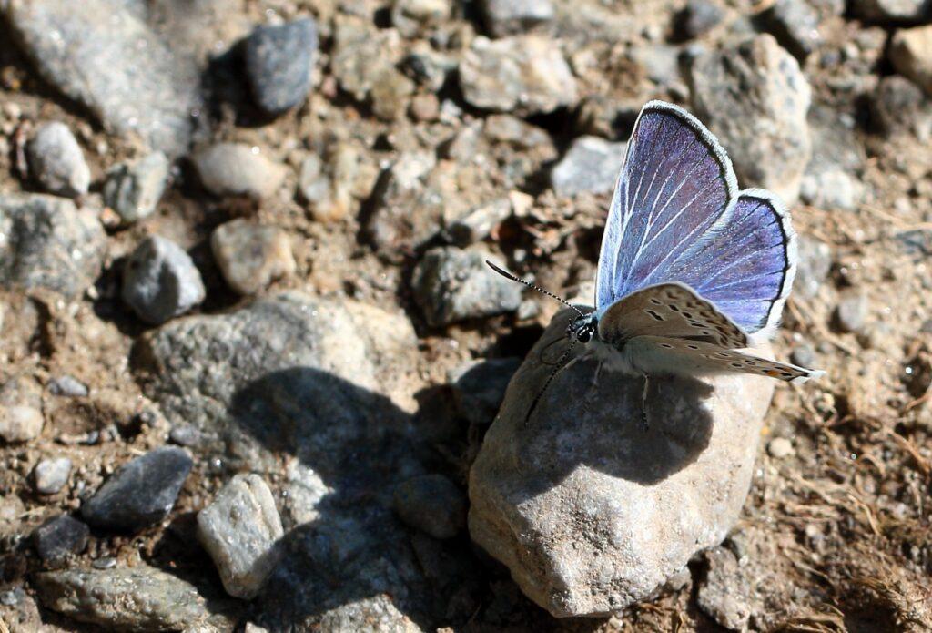 Eschers blåfugl, Polyommatus escheri