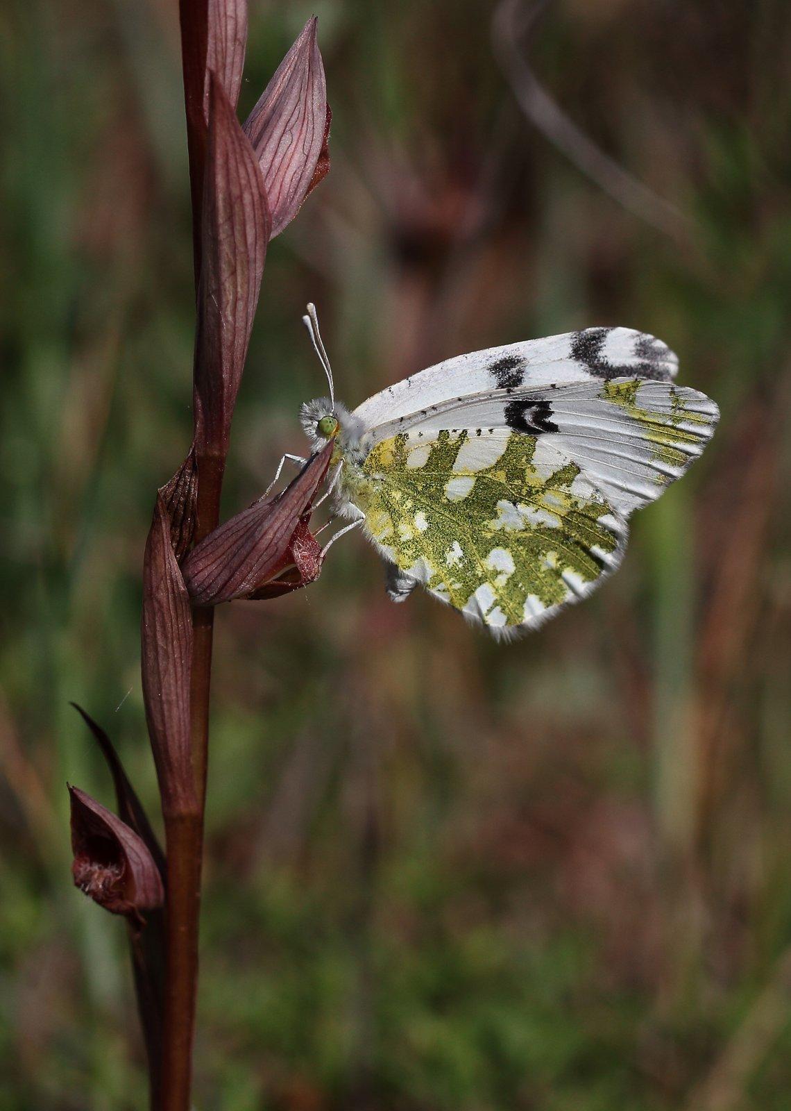 Østlig plettet hvidvinge, Euchloe ausonia